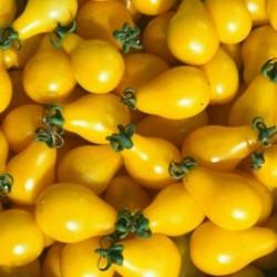 Tomate - Cerise jaune (godet)