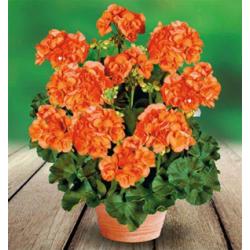 Zonal - droit - orange