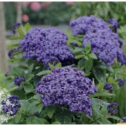Heliotrope - bleu