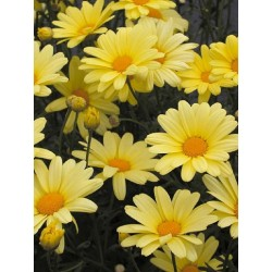 Anthemis - jaune