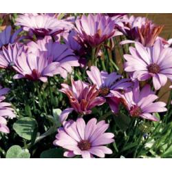 Ostéospermum - violet