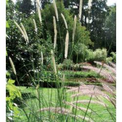 Penisetum - macrorum