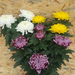 Chrysanthème boule (15 fleurs)