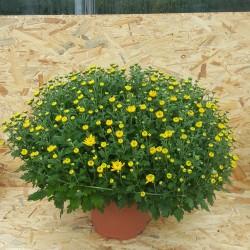 Chrysanthème Pompon