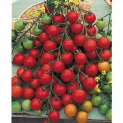 Tomate - Pepe (godet)