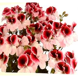 Florabella - droit - bicolore